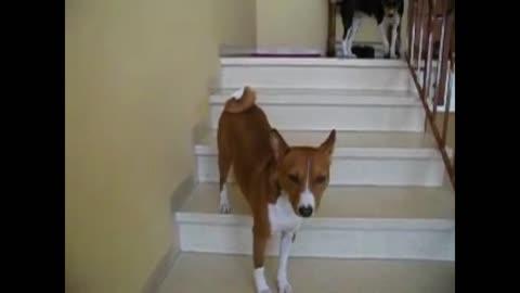 Weirdo dog walks up stairs backwards