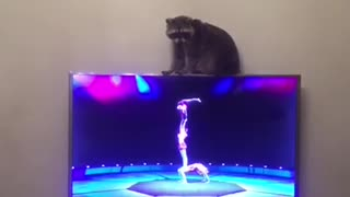 Raccoon watches acrobats on TV, tries (and fails) to imitate them