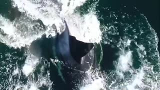 a whale with a notched tail