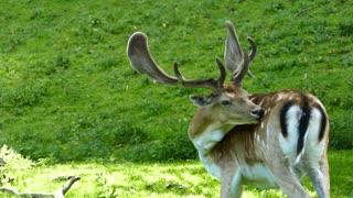 deer beauty