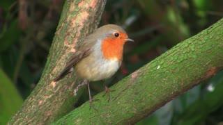 Cute Bird Robin