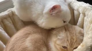 Scottish Fold Munchkin Kitten mood swing in 10 seconds