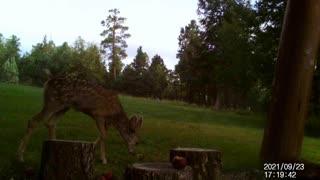 Baby Deer Sniffs Apples Then Walks Away!