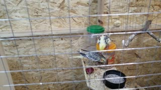 Beautiful parrots of Corella eat together.