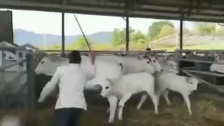 Don't mess with cows!