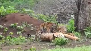 Bengal Tiger Spotted with Cubs | Tiger Sighting | Nagarhole National Park & Tiger Reserve India