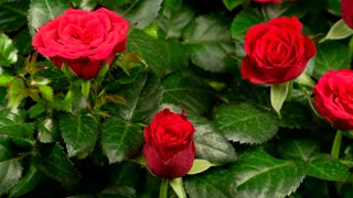 Red roses bush blossoms