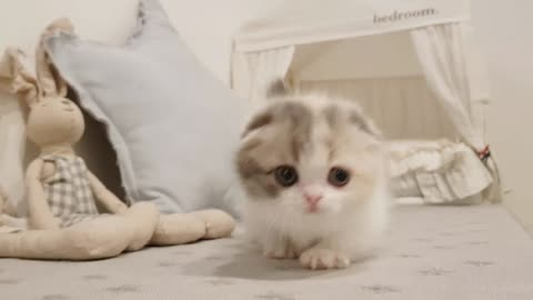 cute short leg kitten videos Very funny