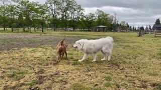 German Shepherd Attacks Pitbull pt 1