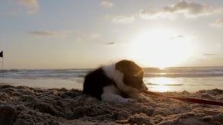 Beautiful dog playing with sunset