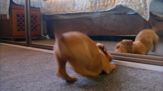 A puppy fighting himself in the mirror