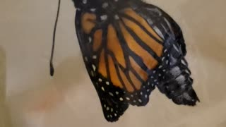 Exact Moment a Monarch Butterfly Emerges from Chrysalis