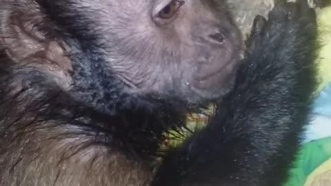 Monkey Loving on a Stuffed Toy After a Bath