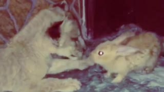 Baby lion plays with rabbit