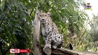 Unbelievable Facts About Leopards