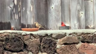 #Back Yard Birds Hawai'i Male and Female Northern Cardinals