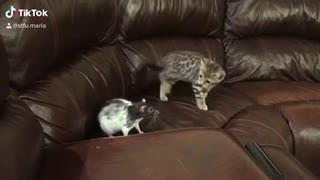 Angry kitten slaps pet rat out of nowhere