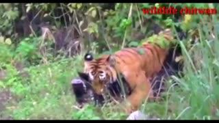 Tiger attack animal