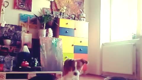 funny dog funny video try not to laugh Jack Russel mix the funniest dogs