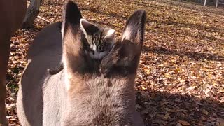 Kitty riding donkey