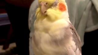 baby cockatiel singing opera