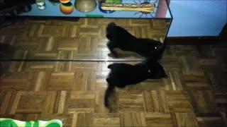 Cat plays in front of a mirror - Gato juega frente a un espejo