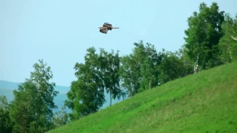 Hawk flying in the meadow - With beautiful music