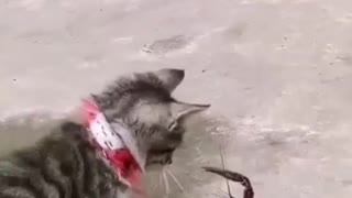 cat plays with cancer
