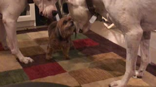 Little dog referee