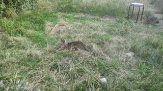 Cat playing in the grass