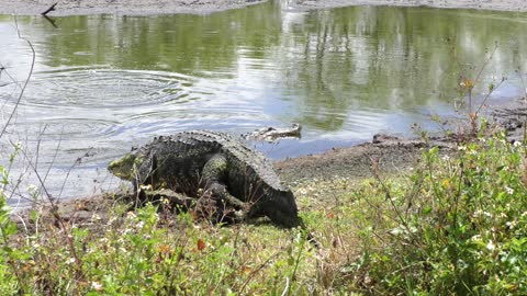two large alligators in a pond during breeding season