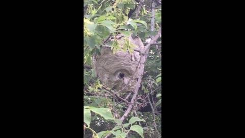 Massive Hornet Nest Discovered!