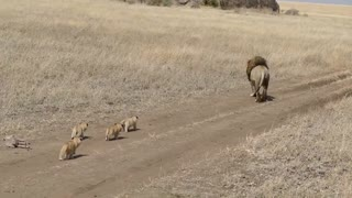 When cute Lion cubs decide to attack their Dad!