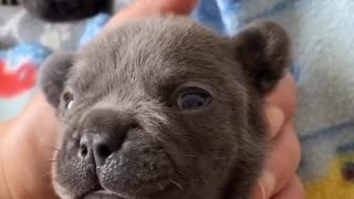 """Frenchie puppy tries his best to say """"I love you"""""""