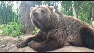 Bear and human. History of life and love