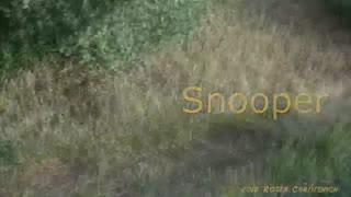 2 Snooper the Beagle Dog Chases A Bunny Rabbit