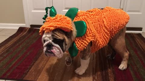 Bulldog can't stand his Halloween outfit