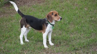 Otis the Howlin' Beagle..