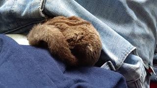Sleeping ball of sugar glider fur