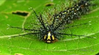 Colorful Caterpillar Has Amazing Skills In Its Defense