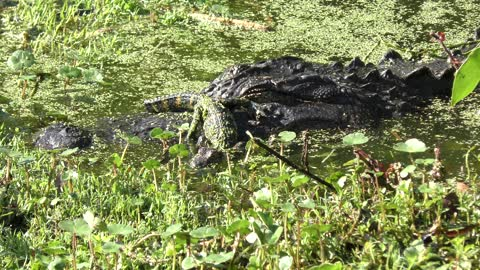 american alligators , mother and baby
