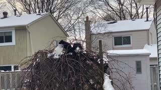 Festive squirrel decorates nest with peanut butter jar