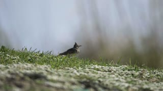 A bird walking in the grass - With great music
