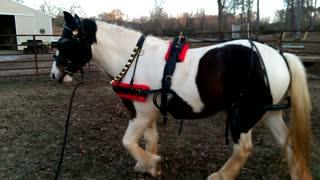 Gypsy Horse Gracie - Jingle Bells