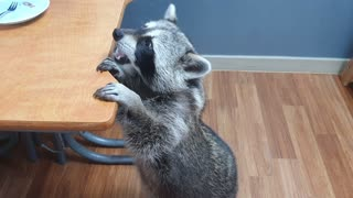 Raccoon adorably walks like a human for more rice cakes