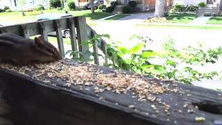 Chipmunk stealing birdseed