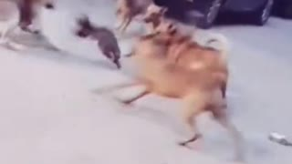 Cat fight with dogs