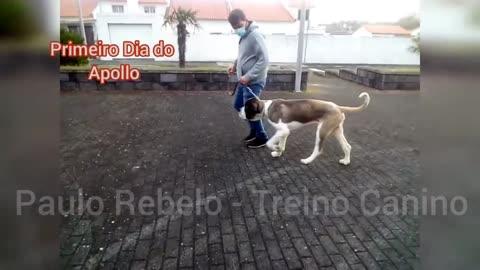 São Bernardo - Paulo Rebelo Treino Canino