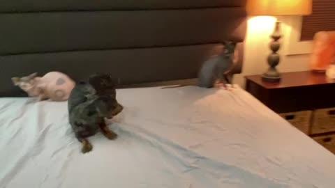 Dog taunts cats
