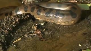 Giant Anaconda World's longest snake